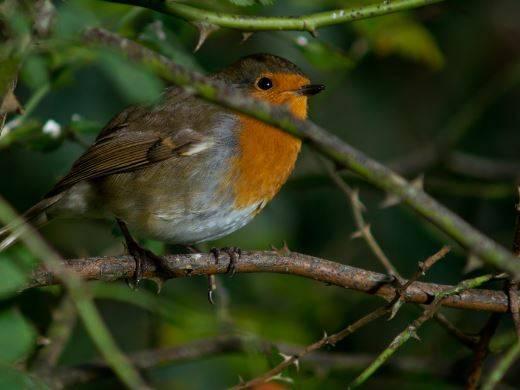 robin in tree